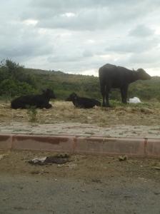 Water buffalo, Riva, Beykoz, 2016.04.13
