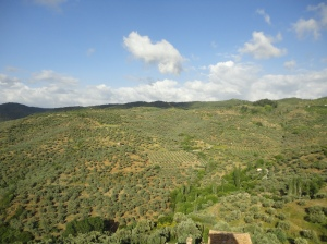 Hillsides of olives