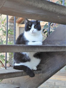 Three-legged black-and-white cat rests on two steps of open stairway, Şirince, January, 2018