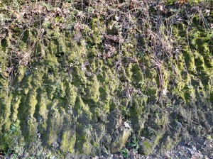 Earth scored by digging tools, covered with moss and vines, Şirince, January, 2018