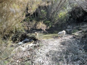Three dogs crossing a stream, Şirince, January, 2018