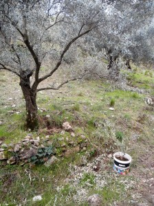 Olive sapling in a bucket next to olive tree rooted in the ground, Şirince, January, 2018
