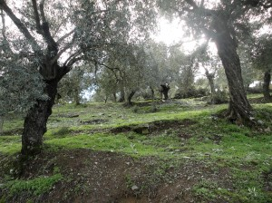 Uphill view through the olive trees, Şirince, January, 2018