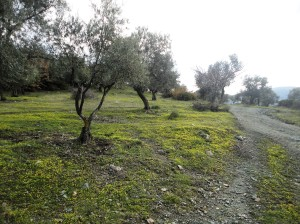 Hilltop of olive trees in a carpet of tiny yellow flowers, Şirince, January, 2018
