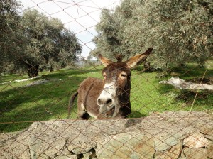 Grinning donkey through chainlink fence, Şirince, January, 2018