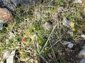 Small red, yellow, and purple wildflowers among rocks, Şirince, January, 2018