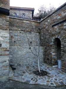 Bare tree planted in alcove formed by stone buildings, Şirince, January, 2018