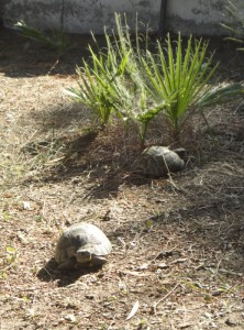 Two tortoises near young palms
