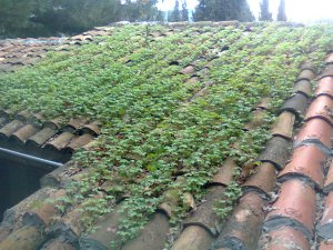 Tiny green plants on red tile roof, cloudy day
